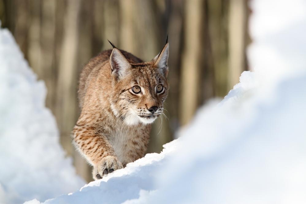 Rys, vlk, medvěd a kočka divoká na výstavě
