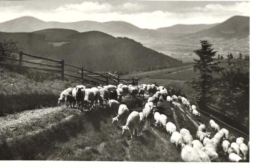 Magický příchod ovcí